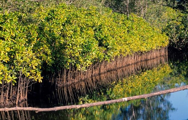 A Black Mangrove Forest at High Tide | Earth's Surface