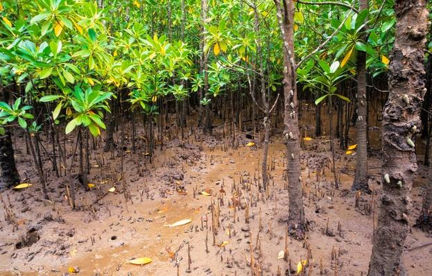 A Black Mangrove Forest at Low Tide | Earth's Surface