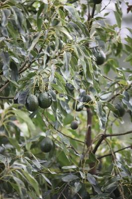 Avocado Fruit on Tree, Kwa-Zulu Natal, South Africa | Earth's Resources