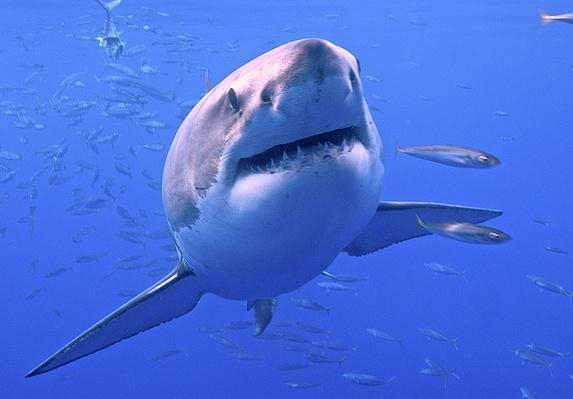 Great White Shark | Endangered Species