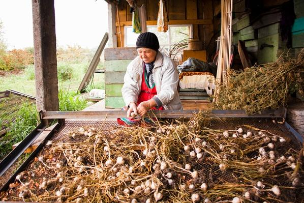Senior Woman Drying Garlic Plants | Earth's Resources