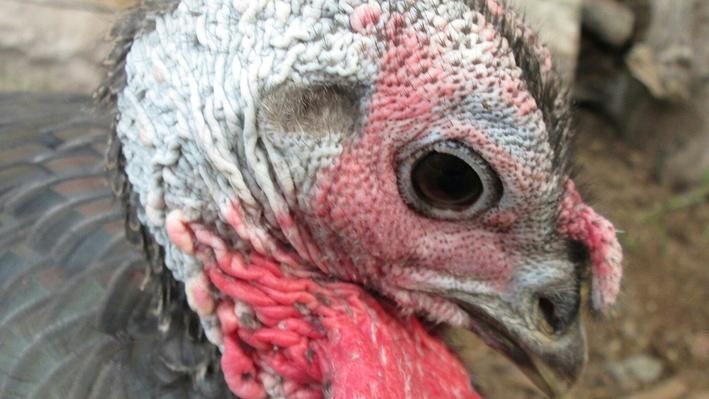 Extreme Close-Up of Farm Turkey | Earth's Resources