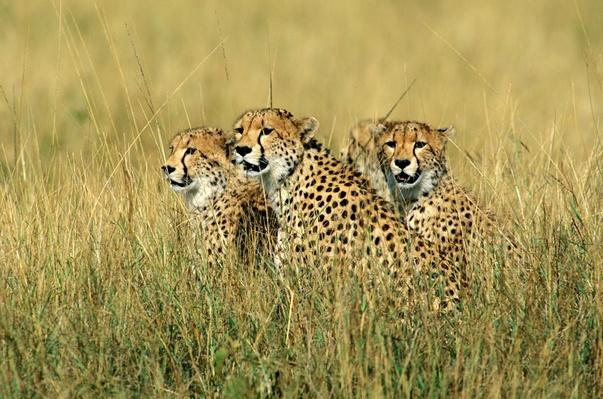 Cheetah | Animals, Habitats, and Ecosystems