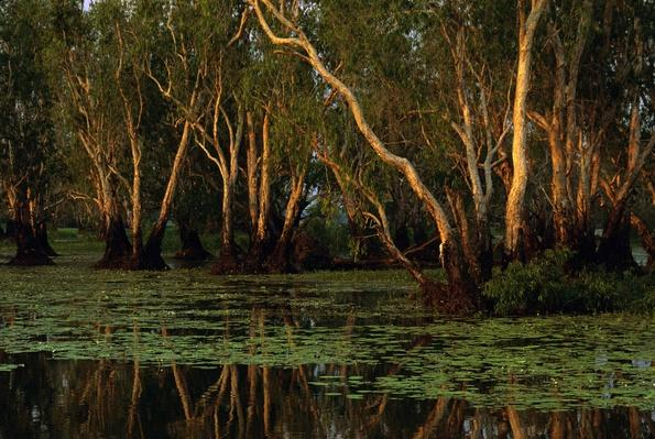 A backwater swamp with Paperbarks | Animals, Habitats, and Ecosystems