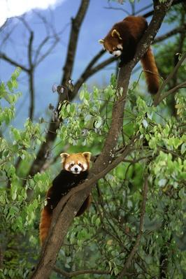 Red pandas | Endangered Species