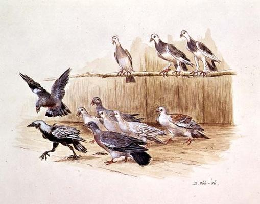 The Jackdaw and the Doves