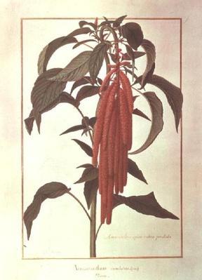 Amarantus Caudatus