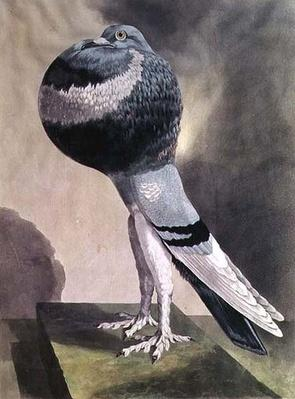 Portrait of Pouter Pigeon