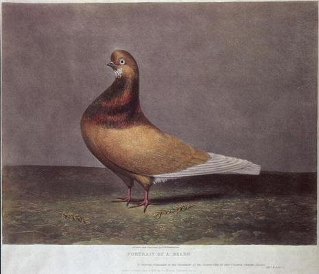 Portrait of a Beard Pigeon