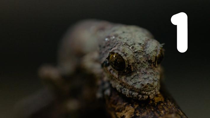 Leaf-Tailed Gecko | San Diego Zoo Kids