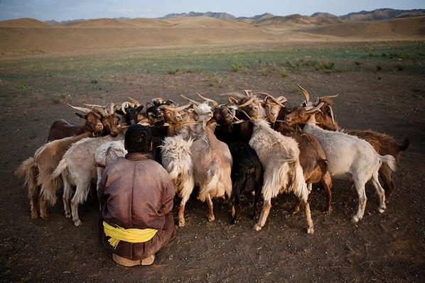 A Man Milks Tethered Goats | Global Oneness Project