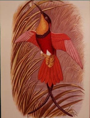 Humming Bird: Crimson Topaz, plate 23 from 'Cassell's Book of Birds', c.1870