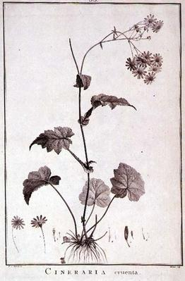 Cineraria Cruenta, from 'Sertum Angelicum', published 1788