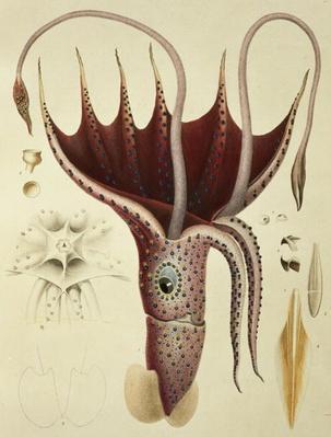 Squid, Pl.2 from 'Histoire Naturelle Generale et Particuliere des Cephalopodes Acetabuliferes', pub. by Ferussac & D'Orbigny, Paris, 1835-48,