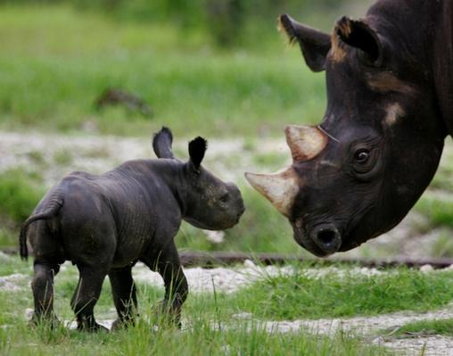 Baby Black Rhino Born At Miami Zoo