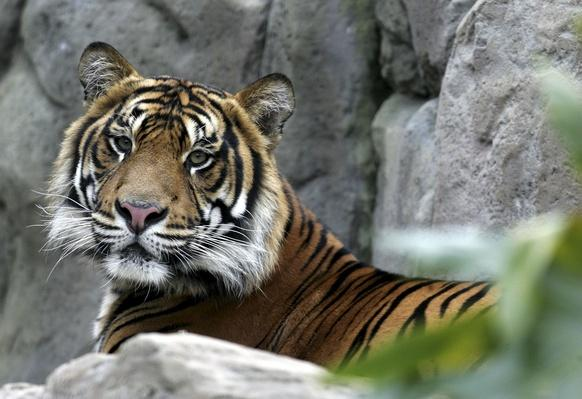 Oz The Tiger Settles Into His New Home