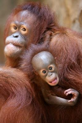 Jakarta Centre Rescues Orphaned Orangutans