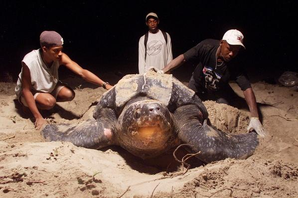 Leatherback Turtles Lay Eggs