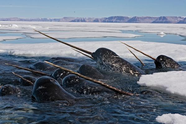 Lancaster Sound, Nunavut, Canada | Endangered Species