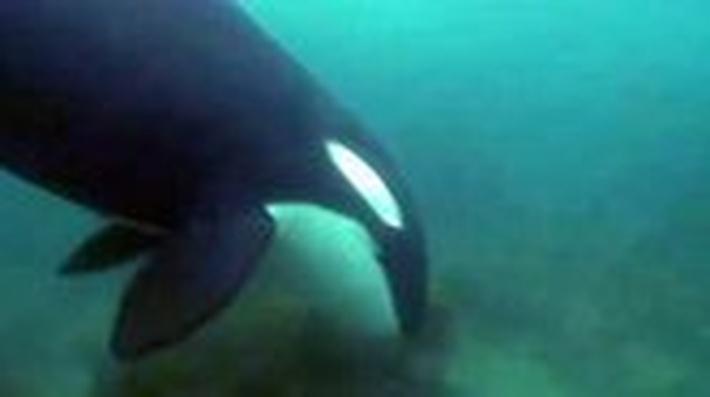 Orcas Hunting | Ocean Adventures