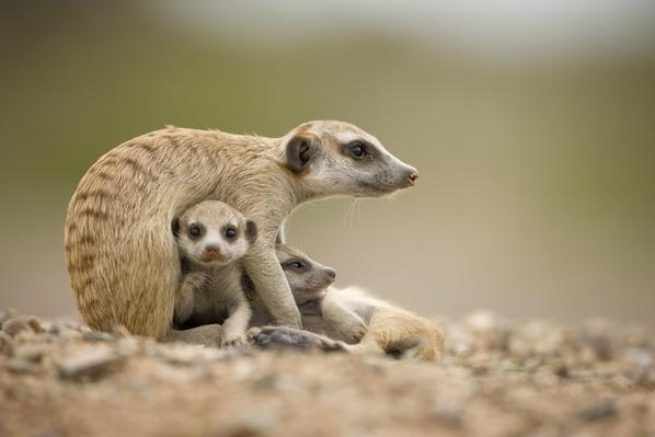 Meerkat Pups with Adult, Namibia | Animals, Habitats, and Ecosystems