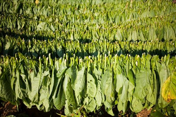 Tobacco | Earth's Resources