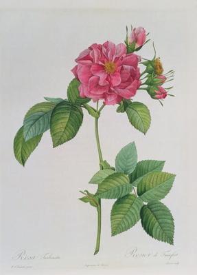 Rosa Turbinata, from ,Les Roses', Vol 1, 1817