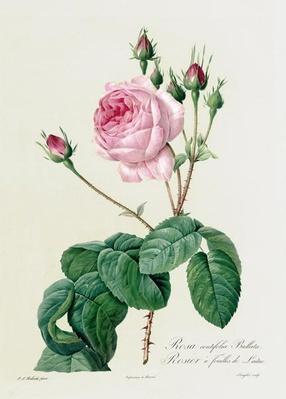 Rosa Centifolia Bullata, from 'Les Roses', 19th century