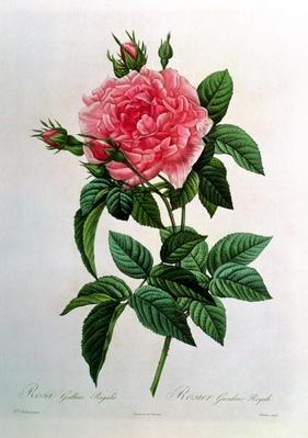 Rosa Gallica Regallis, from 'Les Roses', 19th century