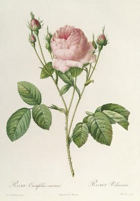 Rosa Centifolia Carnea, from'Les Roses', 19th century