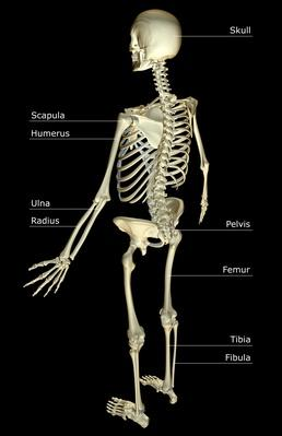 The skeletal system | Science and Technology