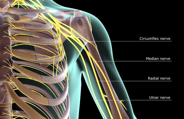 The nerves of the shoulder | Science and Technology