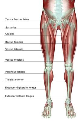 The musculoskeleton of the lower body | Science and Technology