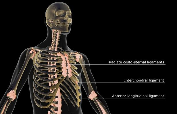 The ligaments of the upper body | Science and Technology
