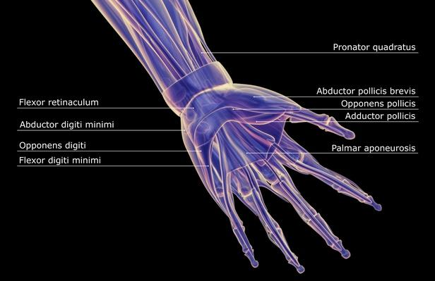 The muscles of the hand | Science and Technology