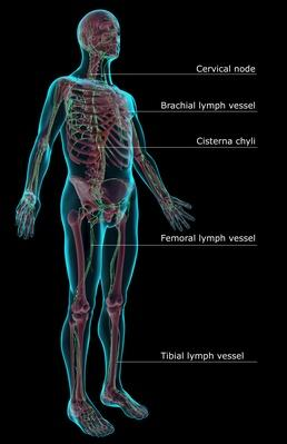 The lymphatic system | Science and Technology