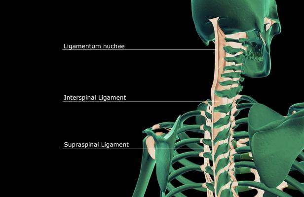The ligaments of the head and neck   Science and Technology