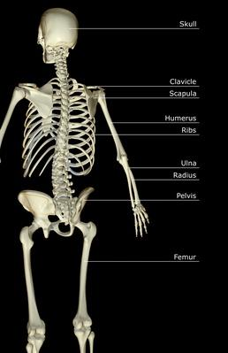 The bones of the upper body | Science and Technology