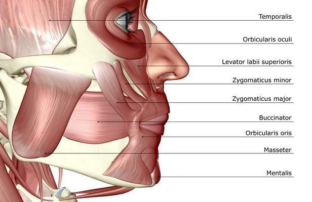 The muscles of the jaw | Science and Technology