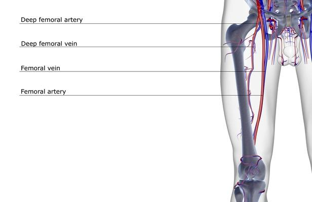 The blood supply of the thigh | Science and Technology