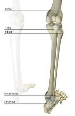 The bones of the leg | Science and Technology