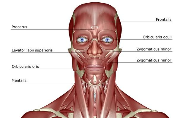 The muscles of the head and neck | Science and Technology