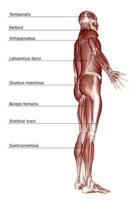 The muscular system | Science and Technology