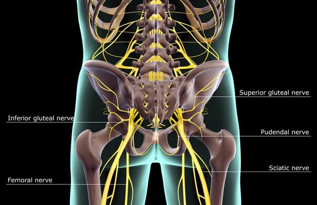 The nerves of the lower body | Science and Technology