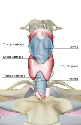 The Larynx | Science and Technology