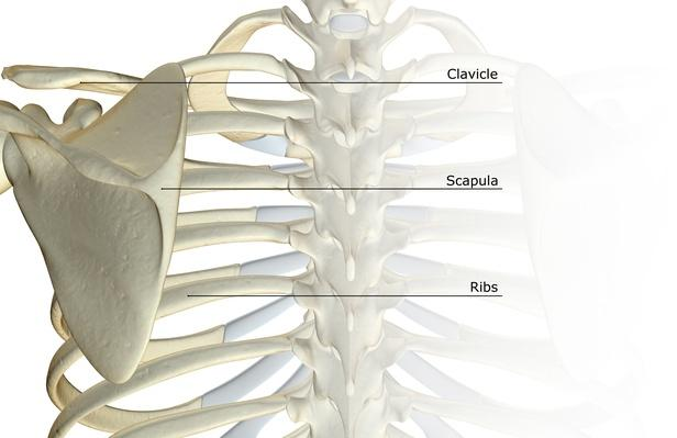 The bones of the shoulder   Science and Technology