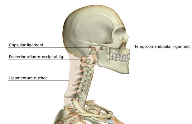 Ligaments of the head | Science and Technology