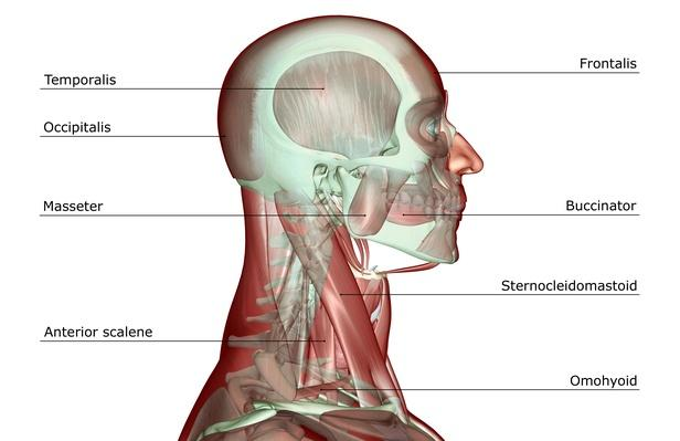 The musculoskeleton of the head and neck | Science and Technology