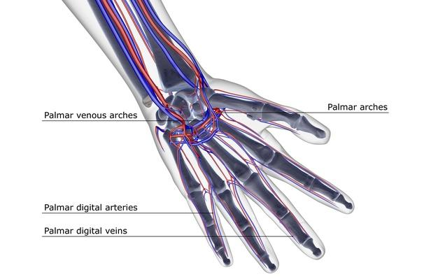 The blood supply of the hand | Science and Technology