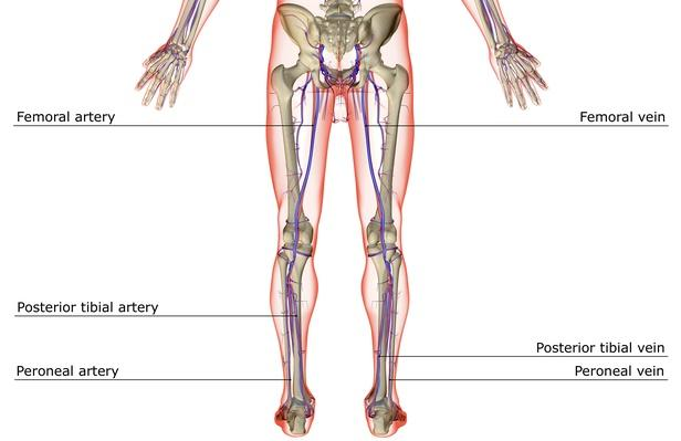 The blood supply of the lower body | Science and Technology